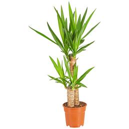 GARTENKRONE Yucca-Palme, Yucca Elephantipes, Topf-Ø: 17cm