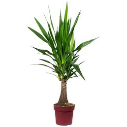 Yucca-Palme Yucca guatemalensis