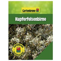 GARTENKRONE Ziergehölz »Kupferfelsenbirne«, Weiß