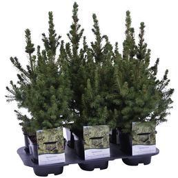 GARTENKRONE Zuckerhutfichte Glauca Picea »Conica«
