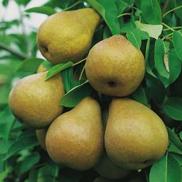 GARTENKRONE Zwerg-Birne, Pyrus communis »Branquila«, Früchte: süß, zum Verzehr geeignet