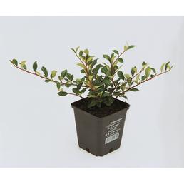 Zwergmispel dammeri Cotoneaster »Eichholz«