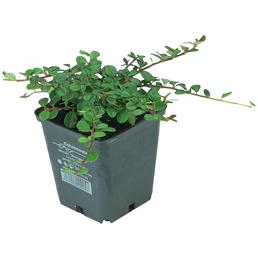 Zwergmispel dammeri Cotoneaster »Fieders Evergreen«