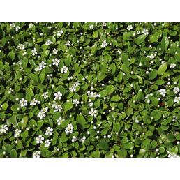 Zwergmispel, dammeri Cotoneaster »Fieders Evergreen«, Blätter: grün, Ø Topf: 9  cm