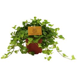 Smit Zwergpfeffer, Peperomia rotundifolia »Rondo Venetiano«, im Kunststoff-Kulturtopf
