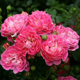 KORDES ROSEN Zwergrose, Rosa »Charmant®«