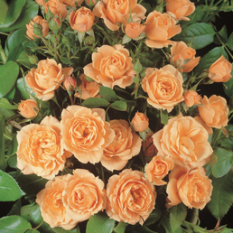 ROSEN TANTAU Zwergrose Rosa hybride »Apricot Clementine«