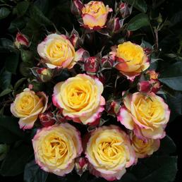 ROSEN TANTAU Zwergrose Rosa hybride »Clementine«
