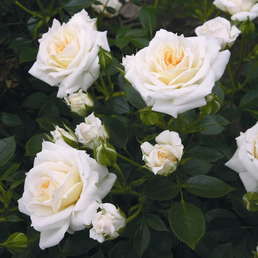 ROSEN TANTAU Zwergrose Rosa hybride »Honeymilk«