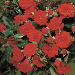 ROSEN TANTAU Zwergrose Rosa hybride »Orange Babyflor«